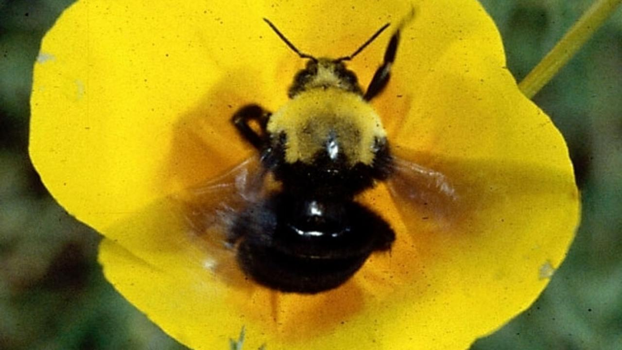 Franklin's bumble bee, Photo by Robbin Thorp